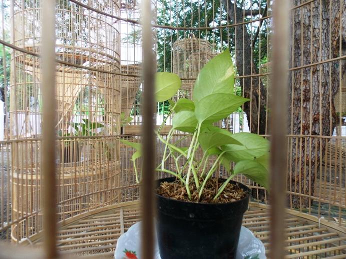 bamboobelianne-1